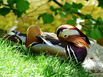 Duck / Canard Royalty Free Stock Photography