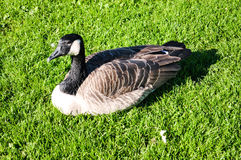 Duck in the grass Stock Photos