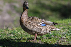 Duck on grass. Single duck on a grass field Stock Photo