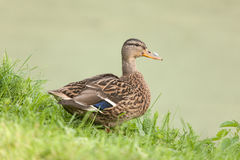 Duck in the grass Royalty Free Stock Photo