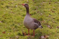 Duck on grassland Royalty Free Stock Photo