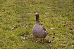 Duck on grassland Stock Images