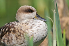 Duck greater Royalty Free Stock Images