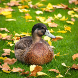 Duck at the green autumn grass Stock Photos