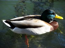 Duck with green face Royalty Free Stock Images