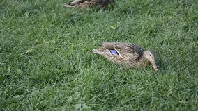 Duck on green grass. Footage stock video