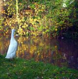 A duck on green grass looking towards the river in autumn. Royalty Free Stock Photo