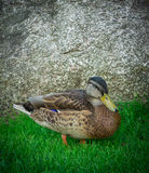 Duck on green grass Stock Image