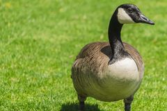 Duck on green grass royalty free stock images