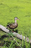 A duck in a green marsh. A Mallard Duck standing in the middle of a swampy marsh in Ontario Canada Royalty Free Stock Images