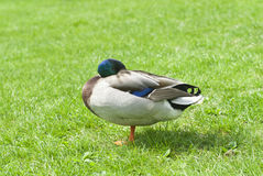 Duck on a green meadow Royalty Free Stock Images
