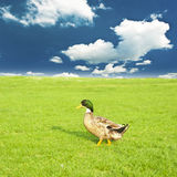 Duck on a green meadow. Under a cloudy sky Royalty Free Stock Images