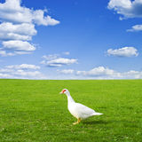 Duck on a green meadow under a cloudy sky Stock Photo