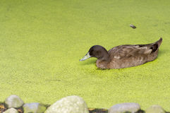 Duck in green pond Royalty Free Stock Photography