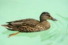 Duck in water. Duck in the green water stock photos
