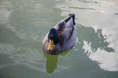 A duck on a green water pond. Royalty Free Stock Photography