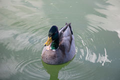A duck on a green water pond. Royalty Free Stock Photos