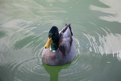 A duck on a green water pond. Stock Images