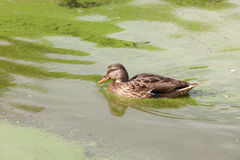 Duck in green water. Portrait of a duck swimming in green water Royalty Free Stock Images