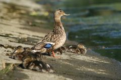 A duck with ducklings are on the beach near the water. A duck in grey feathering and one blue feather on her wing with ducklings are on the beach near the water stock photography