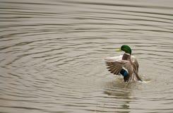 Duck grooming. Itself in water Stock Image