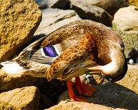 Duck grooming itself. A beautiful duck grooming itself Royalty Free Stock Images