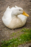 Duck on a ground Royalty Free Stock Photos