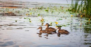 Duck with a group of ducks swimming on the lake. Horizontal pict. Ure. Lots of space for text. Photo taken during sunset royalty free stock photos
