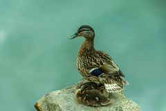 Duck guarding it's chicks Stock Photography