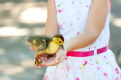 Duck in hands of the child Stock Images