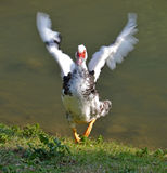 Duck happiness. Happy mute duck emerged from water flapping the wings Stock Photo