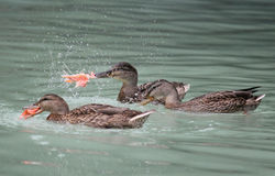 Duck having salmon for dinner Royalty Free Stock Photos