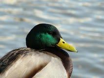 Duck Head Foto de archivo libre de regalías