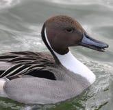 Duck Head Fotos de archivo