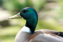 Duck Head Stockbild