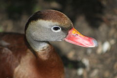 Black-Bellied Whistling Duck. Head of a brown duck with a red beak Royalty Free Stock Image