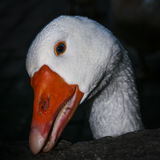 Duck Head. Close-up detail of the head of a duck with blue eyes and orange beak Royalty Free Stock Photos