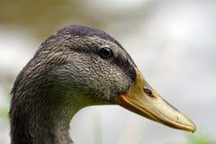 Duck head Stock Photography