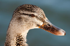Duck head Royalty Free Stock Images