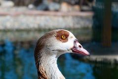 Duck Head Shot maschio Immagini Stock