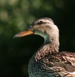 Duck Head and shoulders Royalty Free Stock Image