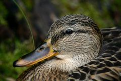 Duck head Stock Photography