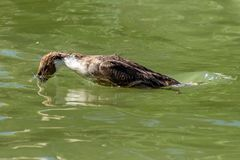 Duck with head submerged below water surface in the process of diving in search of food royalty free stock photo