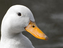 Duck Head Stock Photo