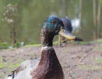 Duck Head Yellow Beak Lizenzfreie Stockfotos