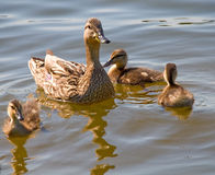 Duck with her children. Duck with her three children swiming in a pond Stock Photography