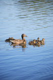 Duck With Her Childs Royalty Free Stock Photo