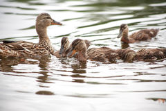 Duck With Her Childs Stock Images