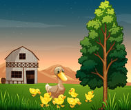 A duck and her ducklings across the barnhouse at the farm Stock Photography