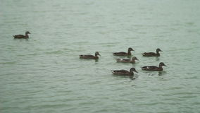 Duck and her ducklings on the lake stock video footage